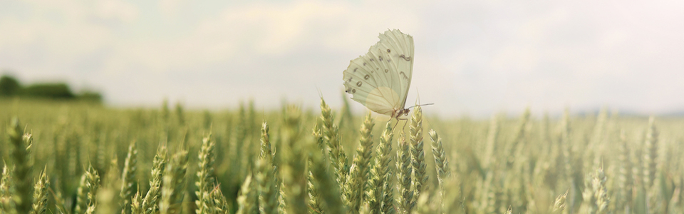 a butterfly in a field of corn