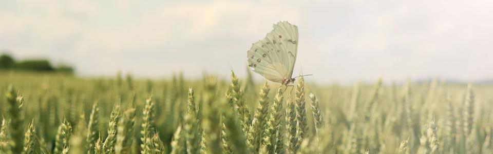 a butterfly in a field of corn